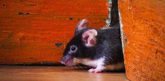 migliori repellenti per topi e ratti